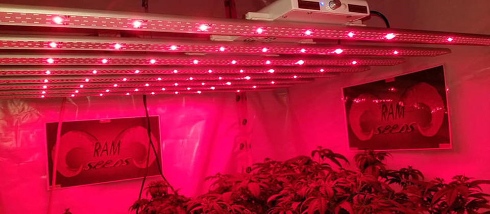 Latest company case about Hemp room using our spectrum adjustable LED grow lights
