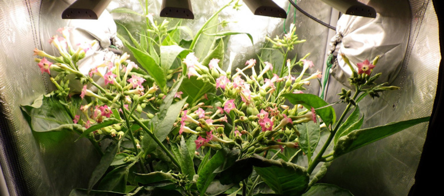 Latest company case about Tobacco plants flowering under GBEING LED grow lights